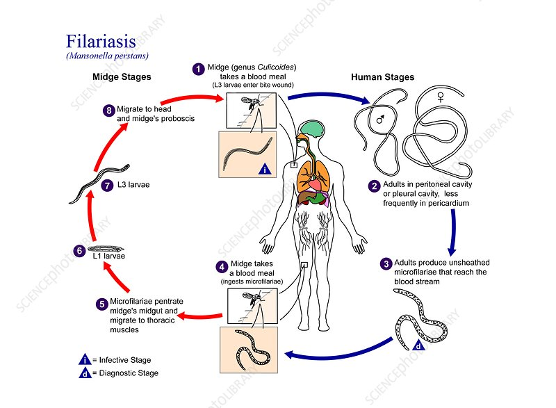 Serous cavity filariasis life cycle