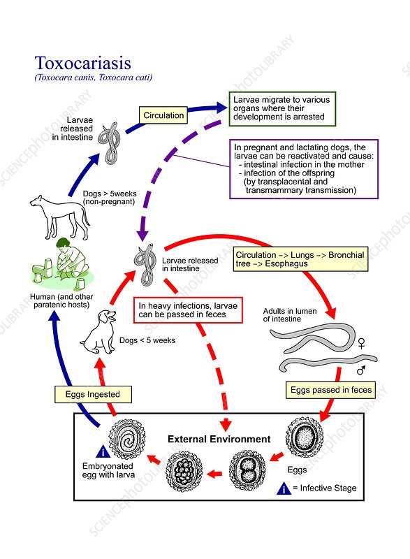 Toxocariasis parasite life cycle