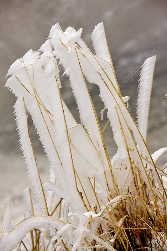 Grasses with hoar frost