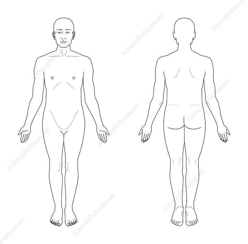 anatomical position  artwork  6507