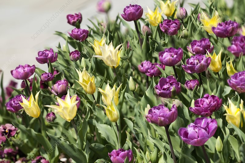 Tulips (Tulipa sp.)