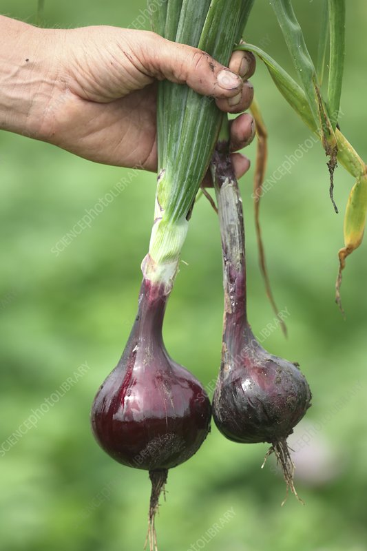 Harvesting red onions
