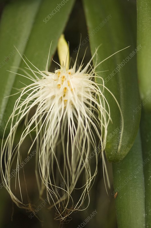 Orchid (Bulbophyllum sp.)