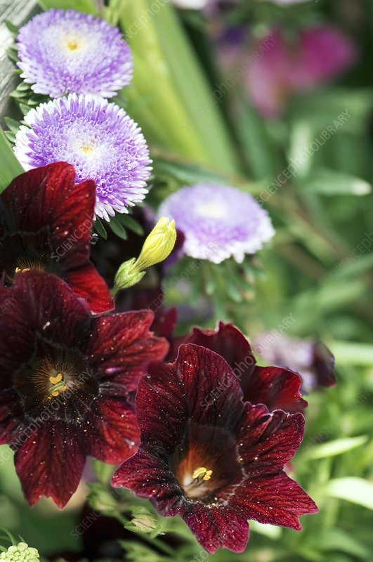 Salpiglossis sinuata and Aster chinensis