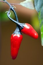 Chili Pepper (Capsicum annuum)