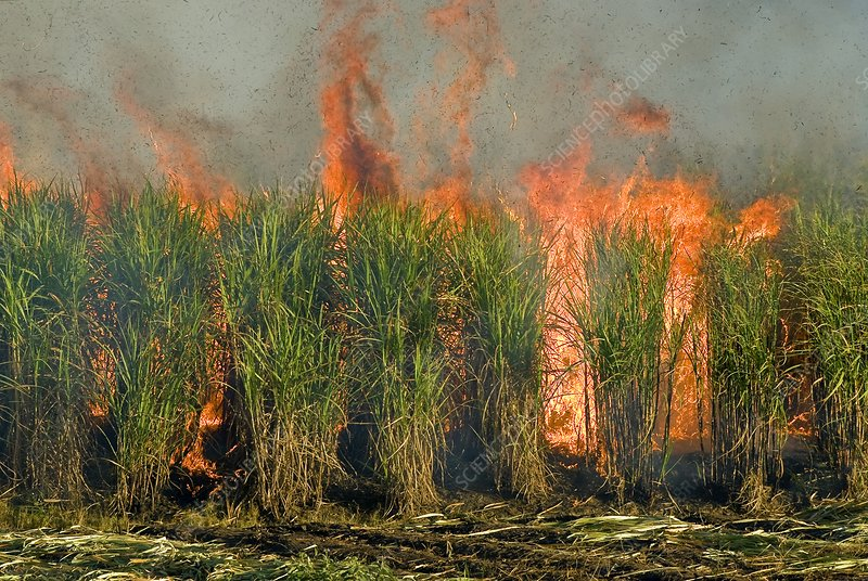 Sugar cane being burnt