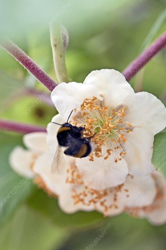 Bee on Actinidia chinensis