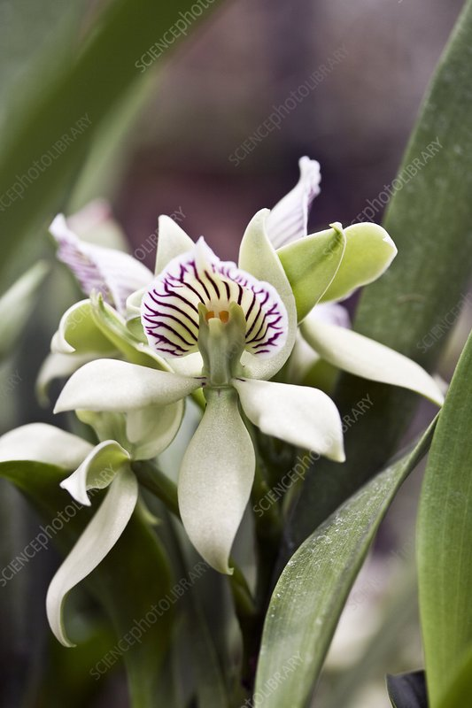 Orchid (Encyclia chacaoensis)
