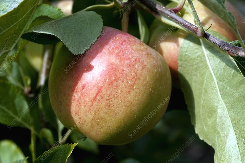 Apple (Malus 'Gala')