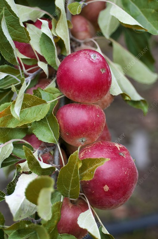 Apple (Malus sp.)