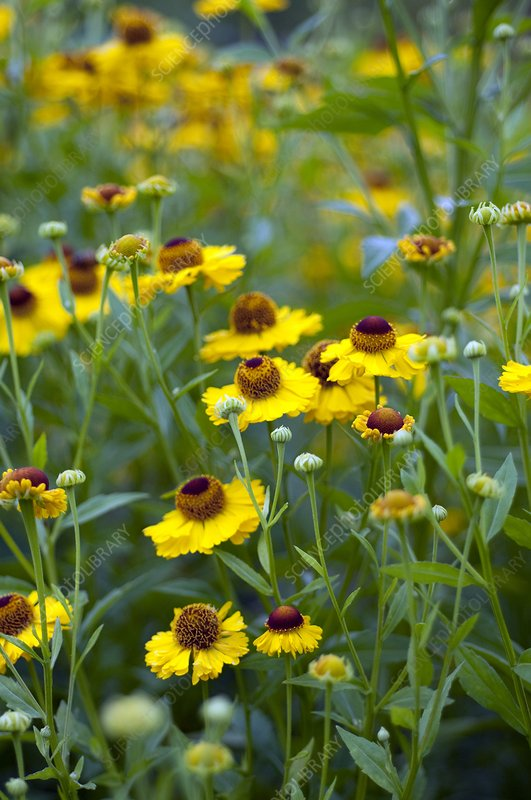 Helenium 'Riverton Beauty'