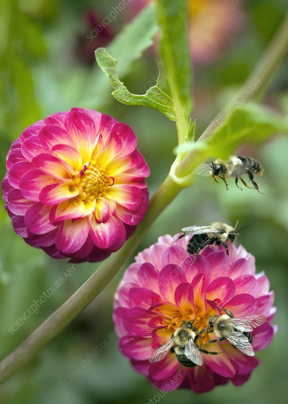 Dahlia sp. And bees