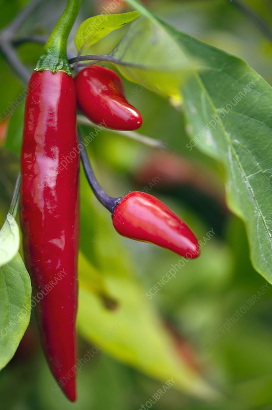 Chili Peppers (Capsicum annum)