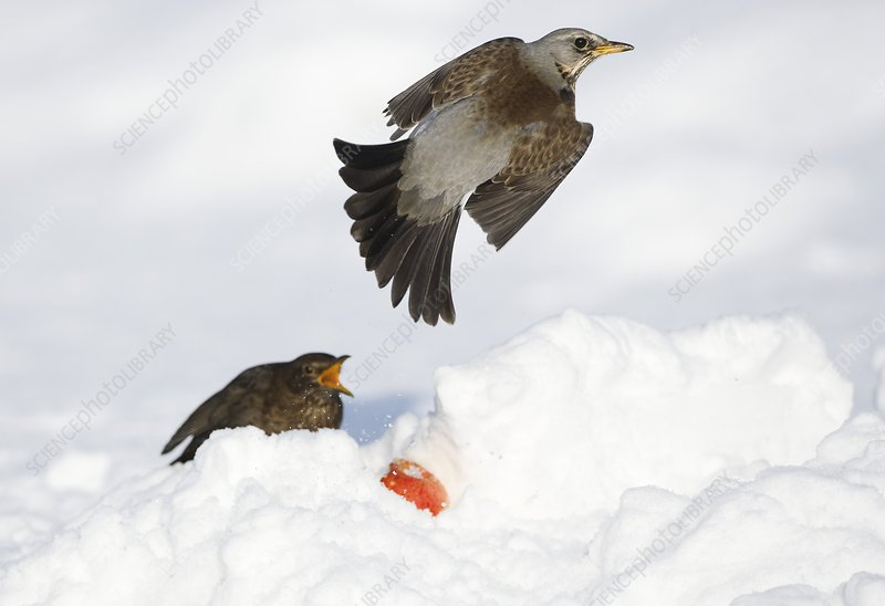 Fieldfare and blackbird in snow