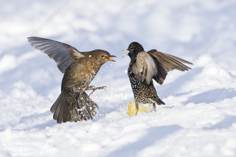 Starling and blackbird in snow