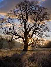 Oak tree (Quercus sp.) in Winter