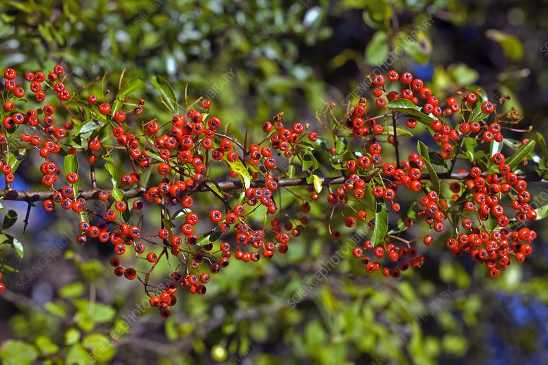 Firethorn (Pyracanthus sp.)