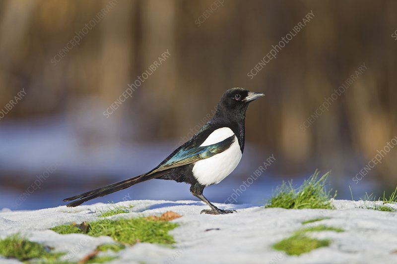 European magpie in snow