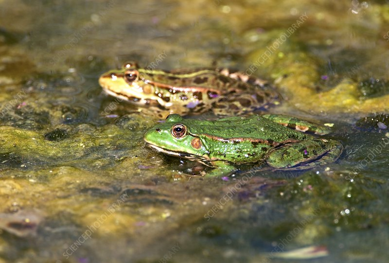 Marsh frogs in a pond