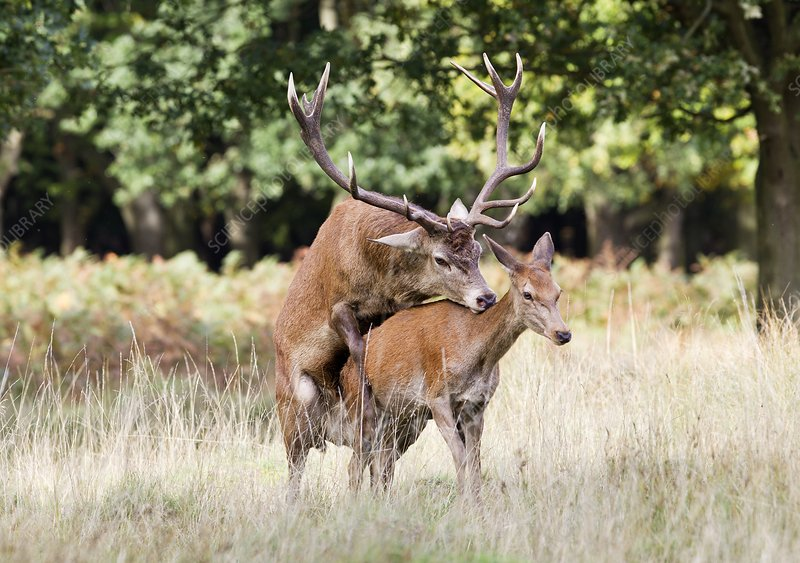 Red deer mating