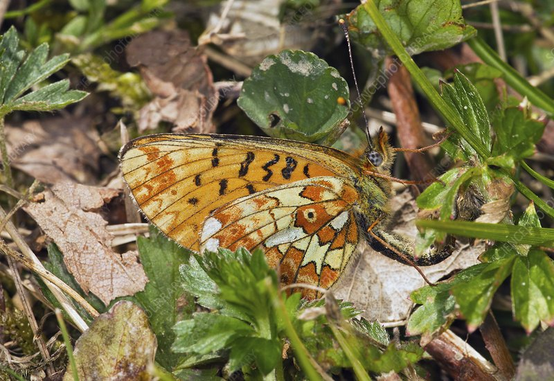 Pearl-bordered fritillary laying eggs