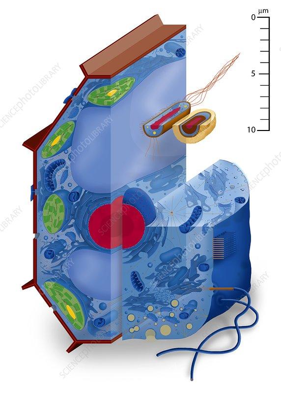 Cell types, artwork