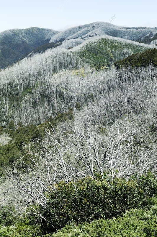Snow gum trees after a forest fire