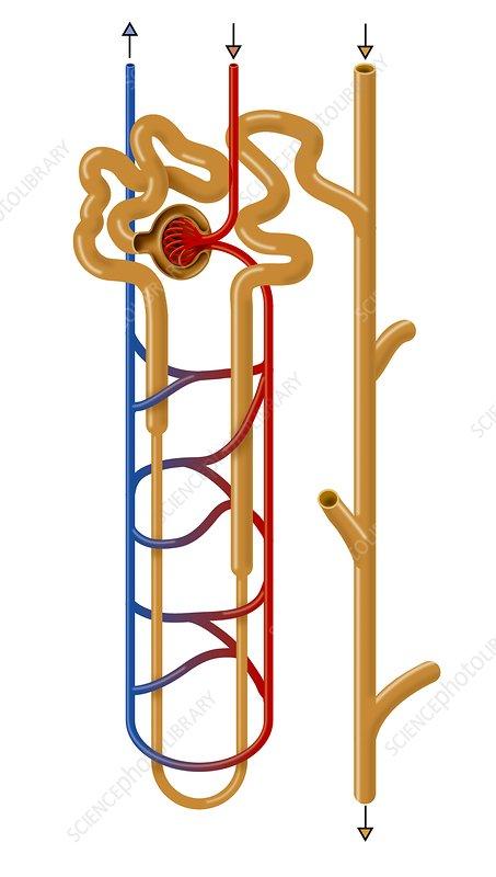 Nephron Structure  Artwork - Stock Image C009  7511