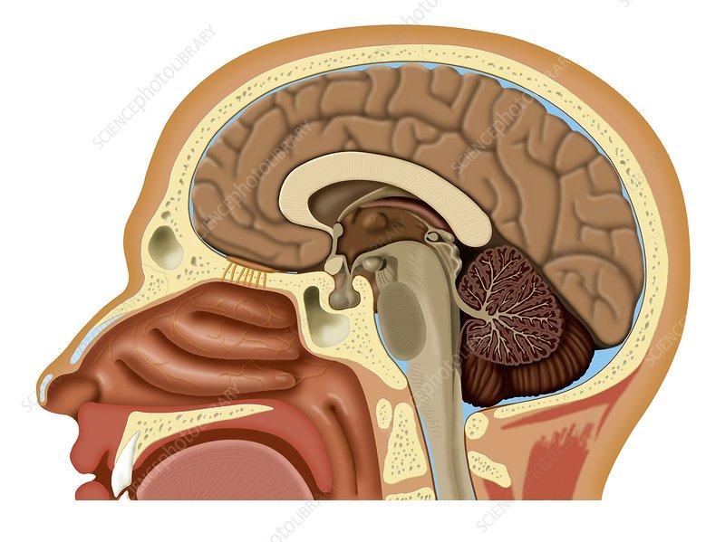 Nose and brain anatomy, artwork