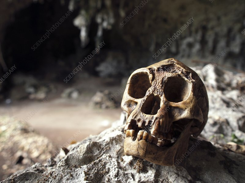Homo floresiensis skull