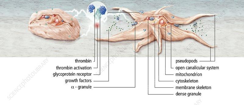 Platelet activation, artwork