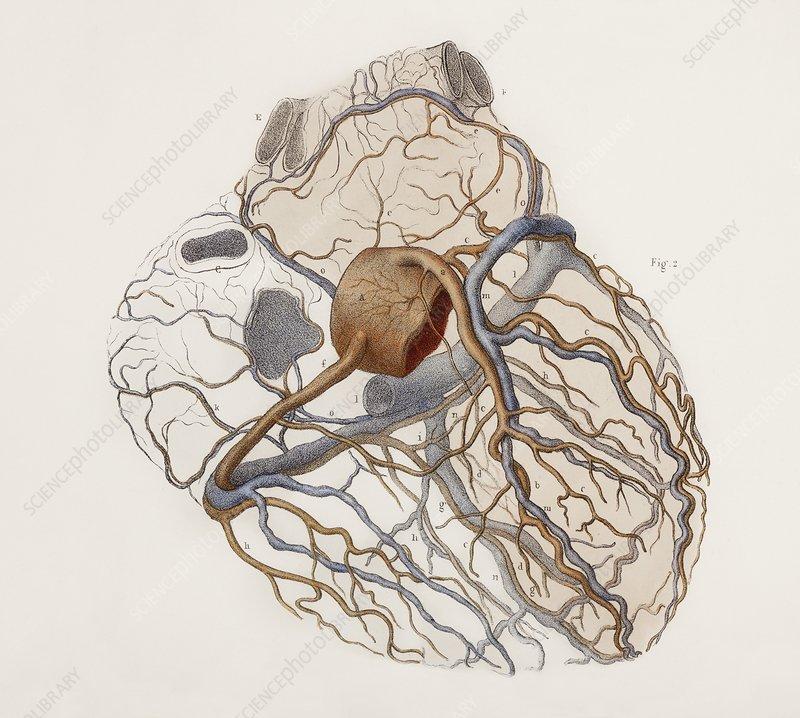 Heart anatomy, 19th Century illustration