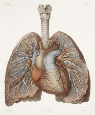 Heart and lungs, historical illustration