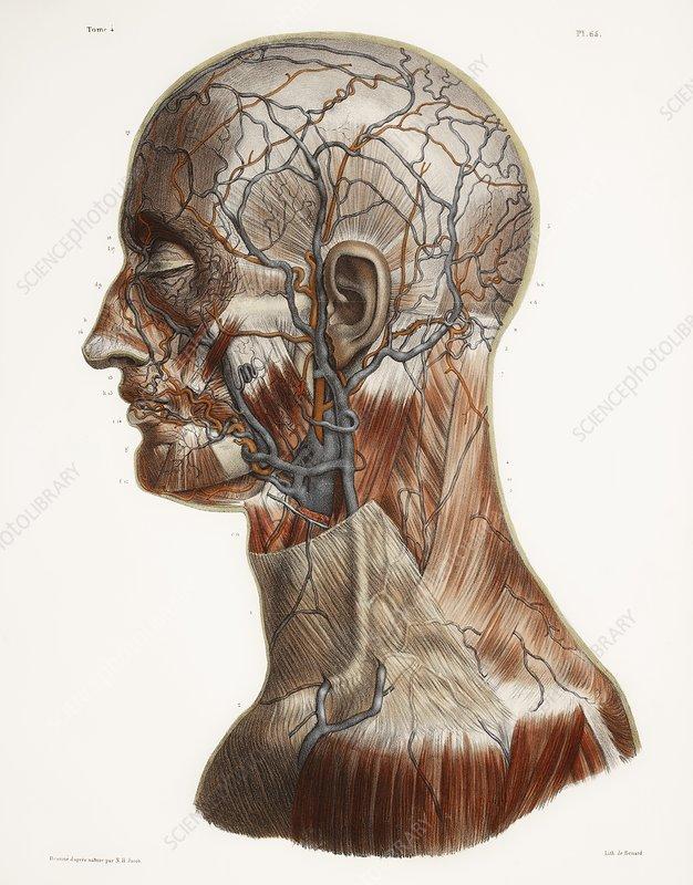 Head And Neck Anatomy Historical Artwork Stock Image C0098074