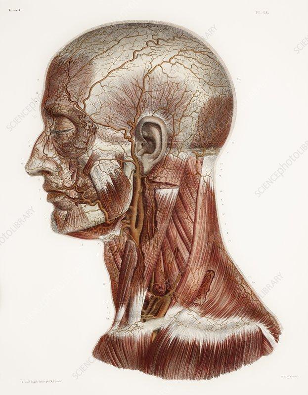 Head And Neck Anatomy Historical Artwork Stock Image C0098078