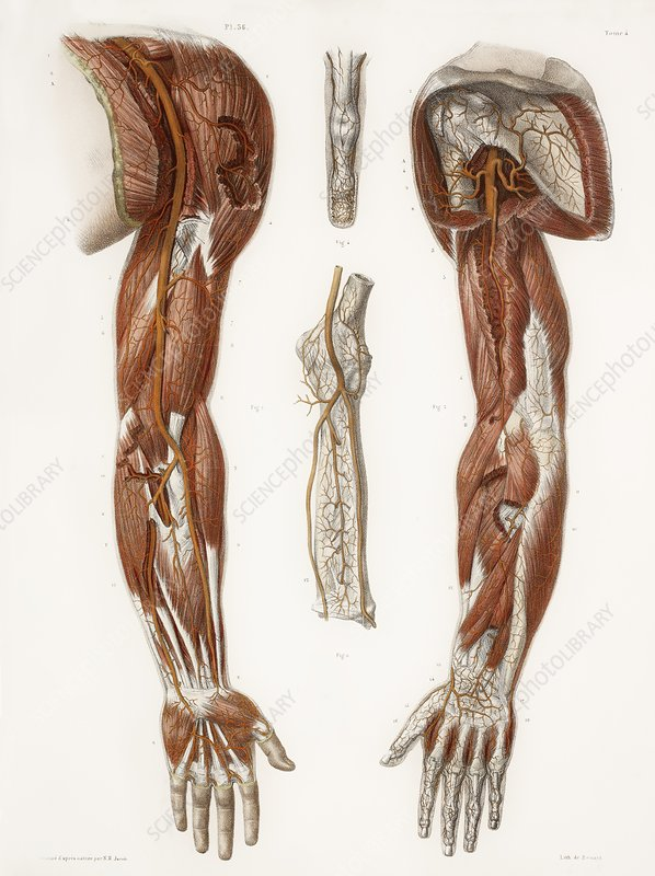 Arm Anatomy Historical Artwork Stock Image C0098092 Science