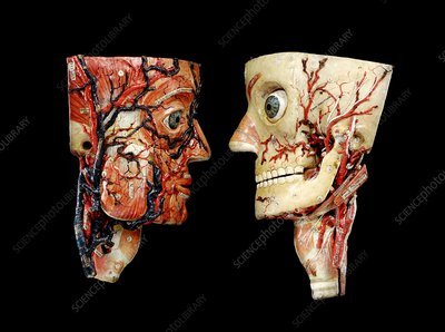 Anatomical model heads, 1880