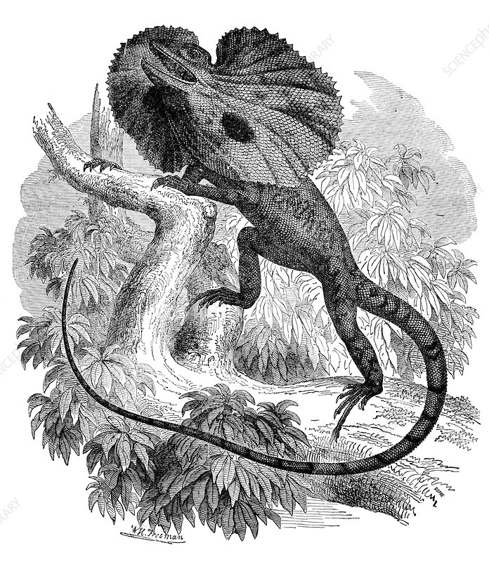 Frill-necked lizard, 19th century