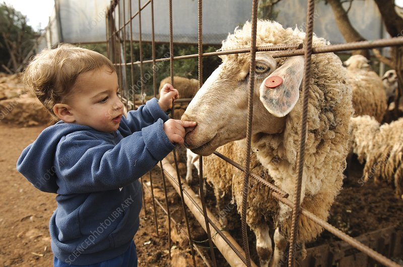Toddler with a sheep