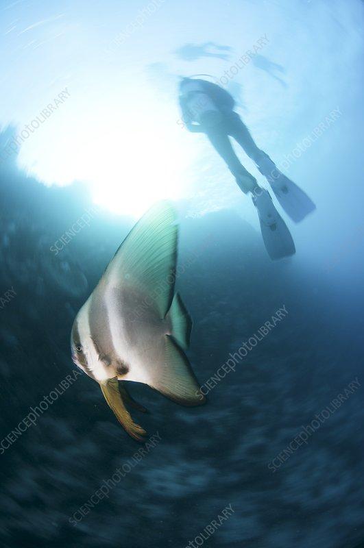 Dusky batfish and scuba diver