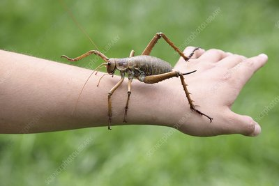 Giant weta, New Zealand
