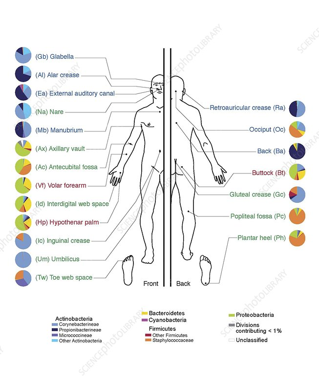 Human skin microbiome, artwork - Stock Image C009/9012 ...