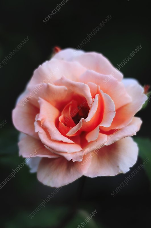 Rose (Rosa 'Just Joey')