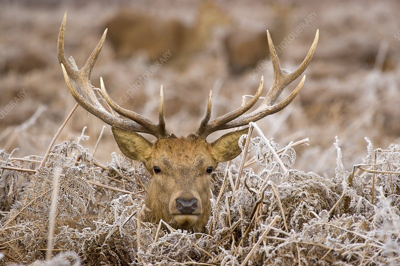 Red deer stag amongst frost-covered ferns