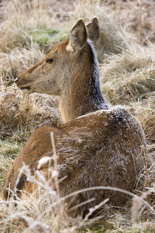 Female red deer covered in frost