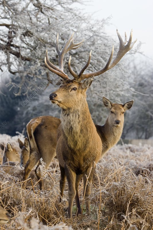 Red deer amongst frost-covered ferns