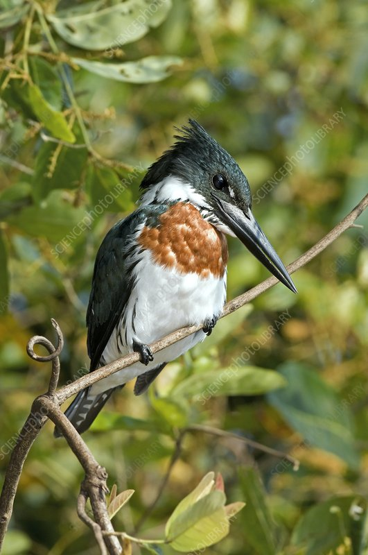Amazon kingfisher male