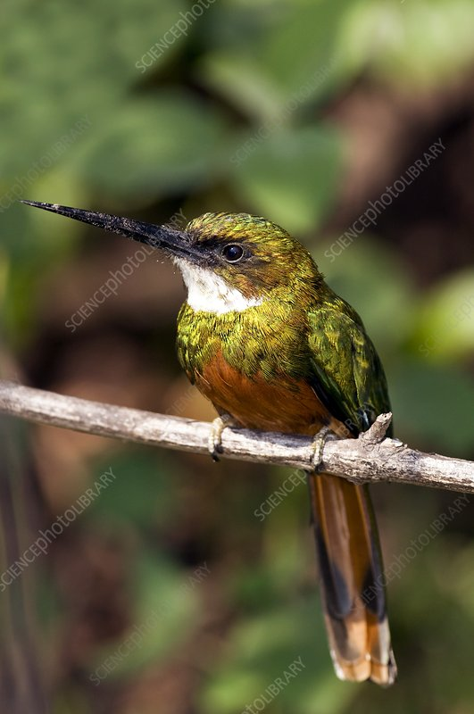 Rufous-tailed jacamar male