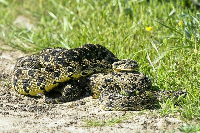 Puff adders mating