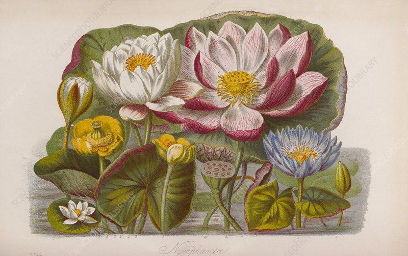 Water lily flowers, 19th century